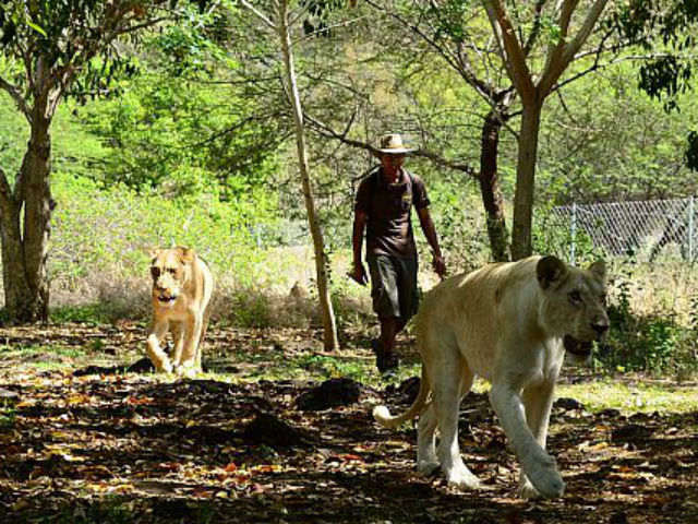 Marche avec les lions à Casela